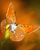 Vlinder met heldere vleugels Stock Foto