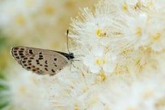 Vlinder met witte bloemen in de aard royalty-vrije stock fotografie
