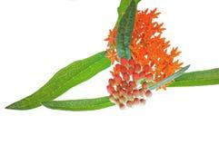 Vlinder Milkweed op Wit Royalty-vrije Stock Foto's