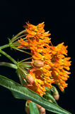 Vlinder Milkweed tegen Zwarte Stock Foto's