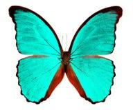 Vlinder Morpho op witte achtergrond wordt geïsoleerd die Royalty-vrije Stock Foto