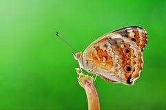 Vlinder, natuurlijke insectaard, Royalty-vrije Stock Afbeeldingen