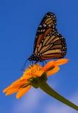 Vlinder Nectaring Royalty-vrije Stock Afbeeldingen