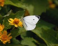 Vlinder No1 Royalty-vrije Stock Foto's