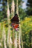 Vlinder Nymphalidae op een witte, verlengde bloem Royalty-vrije Stock Fotografie