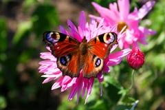 Vlinder (nymphalis io) op chrysant - aardbeelden stock afbeeldingen