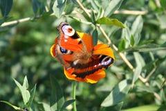 Vlinder (nymphalis io) over de papaver stock afbeelding