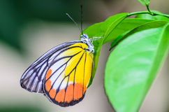 Vlinder in Ochtendaard Royalty-vrije Stock Afbeelding