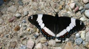 Vlinder onbeweeglijk Stock Afbeelding