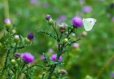 Vlinder onder de bloemen van de distel Royalty-vrije Stock Foto's