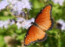 Vlinder onder purpere bloei Stock Foto's