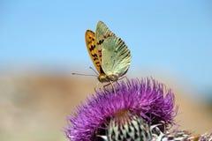 Vlinder op absorptie van voedsel Stock Foto's