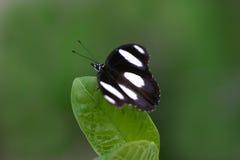 Vlinder op Blad Stock Foto