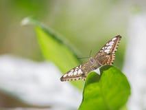 Vlinder op blad Stock Afbeeldingen