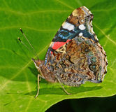 Vlinder op Blad Royalty-vrije Stock Foto's