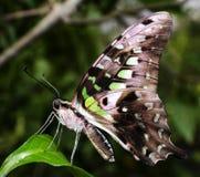 Vlinder op blad wordt neergestreken dat Royalty-vrije Stock Foto's