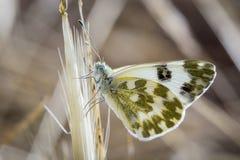 Vlinder op bladeren en groenachtig wit Stock Afbeeldingen
