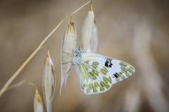Vlinder op bladeren en groenachtig wit Stock Afbeelding