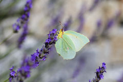 Vlinder op blauwe bloem Royalty-vrije Stock Foto