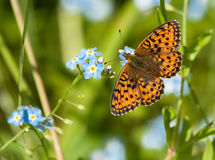 Vlinder op blauwe bloemen Stock Afbeelding