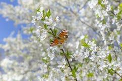 Vlinder op bloeiende boom Royalty-vrije Stock Foto