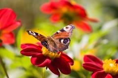 Vlinder op bloem stock foto