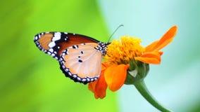 Vlinder op bloem stock footage