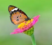 Vlinder op bloem Royalty-vrije Stock Foto