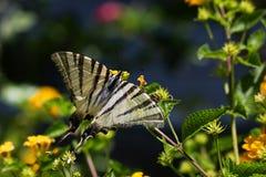 Vlinder op bloem Stock Foto's