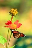 Vlinder op bloem Royalty-vrije Stock Fotografie