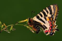 Vlinder op bloem chinensis Luehdorfia Stock Foto's