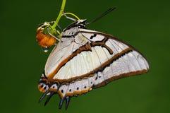 Vlinder op bloem/mannetje/eudamippus Polyura/wit Stock Afbeeldingen