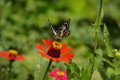 Vlinder op bloem in tuin Stock Afbeeldingen