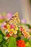 Vlinder op bloemen Stock Foto