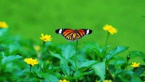 Vlinder op bloemen stock video