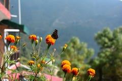 Vlinder op bloemen van heuvels Stock Afbeeldingen