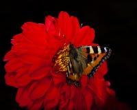 Vlinder op bloemmacro Royalty-vrije Stock Afbeeldingen