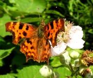Vlinder op bloesem Stock Foto