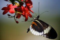 Vlinder op Bloesem Royalty-vrije Stock Afbeeldingen