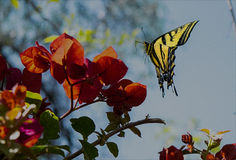 Vlinder op Bouganvillea royalty-vrije stock fotografie