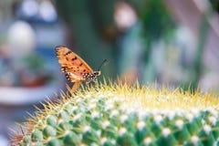 Vlinder op cactus Stock Afbeelding