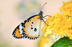 Vlinder op camara Lantana Royalty-vrije Stock Foto