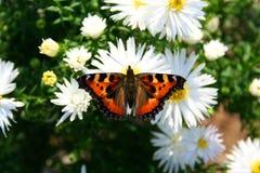 Vlinder op chrysanthemom - aardbeelden Stock Afbeeldingen