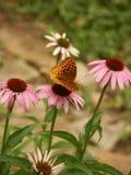 Vlinder op coneflower Royalty-vrije Stock Foto's