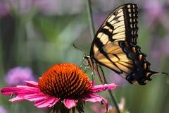 Vlinder op coneflower Royalty-vrije Stock Afbeelding