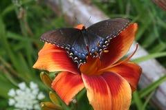 Vlinder op Daglelie Royalty-vrije Stock Foto