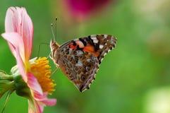 Vlinder op dahlia Stock Foto's