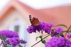 Vlinder op davidii van bloembuddleja Stock Foto