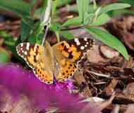 Vlinder op davidii van bloembuddleja Stock Foto's