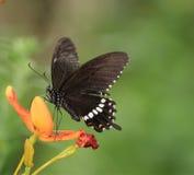 Vlinder op de bloeiende bloem - Papilio polytes polytes Linnaeus Stock Foto